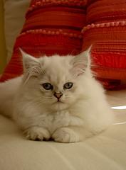 Kitten Rex 1