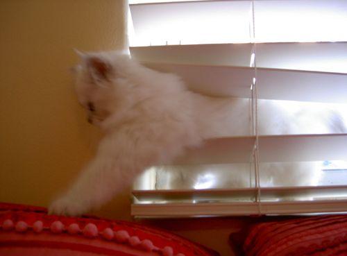 Kitten Rex in the blinds